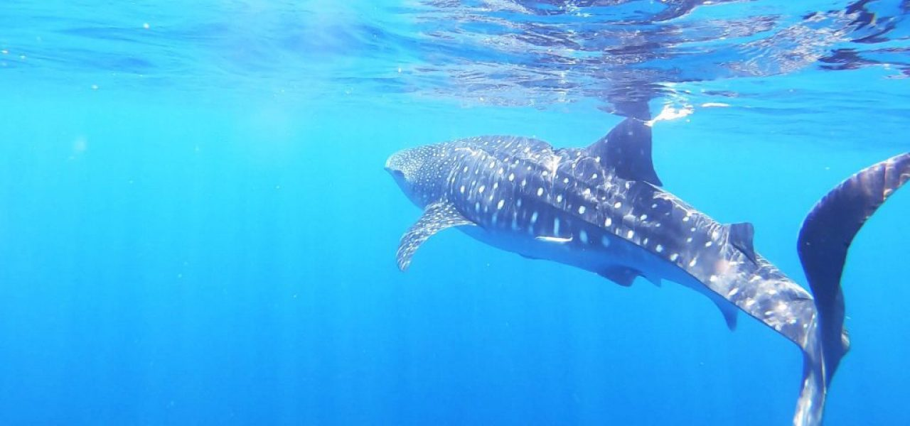 This-is-the-best-time-to-spot-Whale-Sharks-in-Oman
